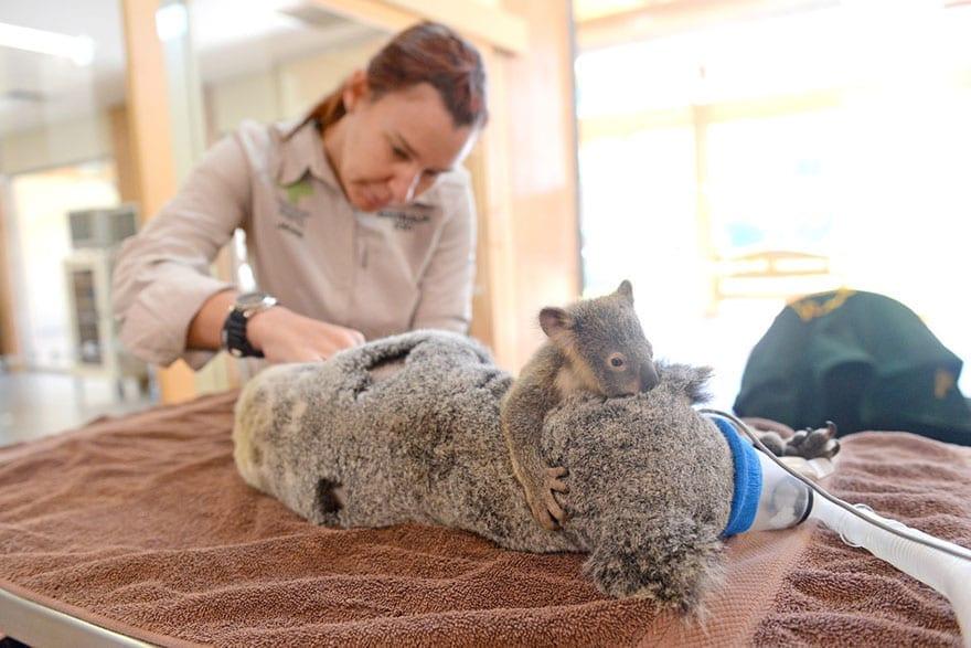 Baby Koala Hugs Unconscious Mom During Life-Saving Surgery ... - photo#20